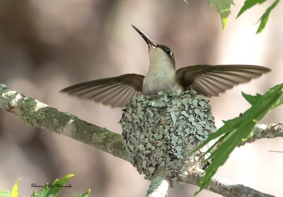 Female Ruby-throated hummingbird (Archilochus colubris) guarding her eggs in a nest camouflaged with Parmelia lichen
